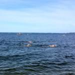 Race Report: William J. McCarthy Memorial Swim